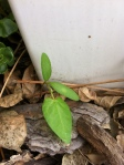 bindweed emerging next to my arbor - before the heartshaped leaves are defined.