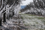 Icicles in the apple orchard didn't disappear until late afternoon.