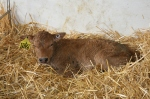 A few hours old, she has had her mother's colostrum and is resting contentedly.