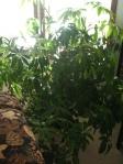 Charlie, our umbrella plant