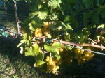 Lots of ripe, some sun burnt, Muscoto grapes.