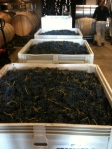 Lots of grapes chillin' in the cellar for tomorrow.