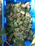 One of my bins of Viognier grapes.