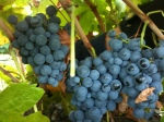 Carmenere grapes are a dusty blue, semi-loose cluster.