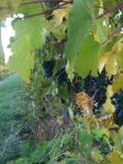 Later ripening, the Petit Verdot is a Bordeaux blending grape that we use as a varietal.