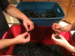 Pulling Petit Verdot grapes from their stems, one-by-one.