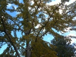 Looking through the yellow Ginkgo leaves at the azure blue sky yesterday morning.