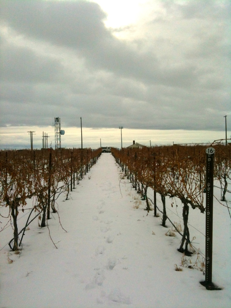 Merlot, Stan Clark Vineyard second week in February 2014 as we begin to prune.