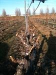 A row of pruned Merlot vines in Stan Clarke Vineyard.