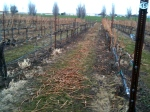 Prunings left in the row for mulching.