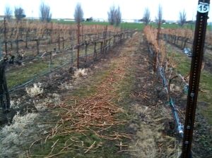 Weeds in the rows needing to be removed for pest management.