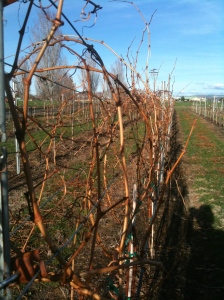 Last year's canes needing to be pruned.
