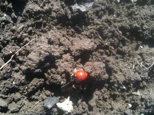 Lady bird beetles are good insects to have around as they prey on vine damaging insects/arachnids.