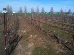 Spur pruned, rows raked - ready for 2014's growing season.