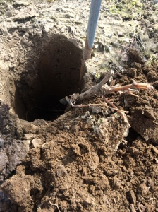 Making sure the hole is deep enough for the roots.  Grape roots can't be curled up when planted.