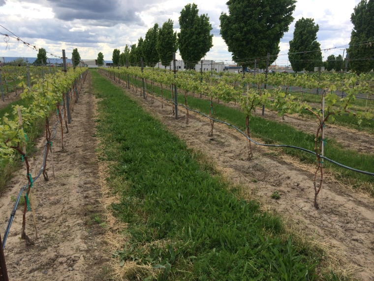 Vigorous two-year-old Barbera vines growing into their first productive year.