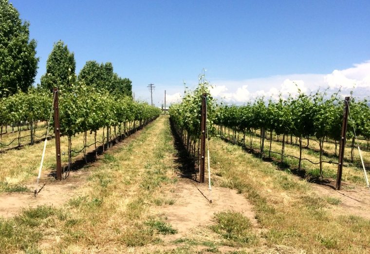 VSP, vertical shoot positioning.  We raised the lower wires to contain the vines - these are Barbera.