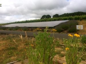 Left Coast Cellars, a biodynamic vineyard and winery; solar panels along the drive.