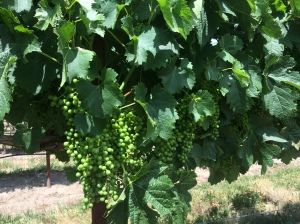 Merlot in Stan Clarke Vineyard - looks like a great set!