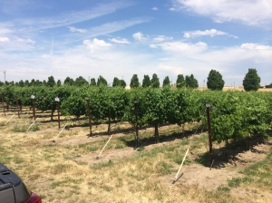 Stan Clarke Vineyard, looking good.