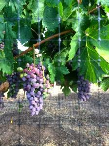 Barbera grapes mid-August in Walla Walla.