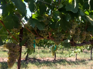 Sagemoor Sauvignon Blanc slated to be picked Saturday, August 30th!