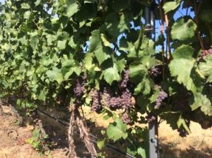 Walla Walla Pinot Gris grapes.
