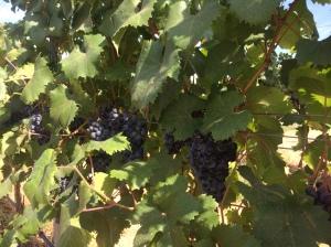 Walla Walla Dolchetto grapes.