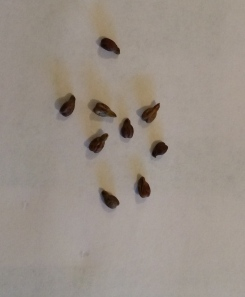 Tan/brown seeds indicate ripeness - ready to pick these grapes!