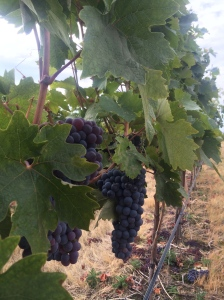 Primitivo grapes hanging in Les Colline's Vineyard - lovely to look at, but not ready to pick yet.