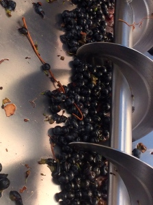 Syrah grapes in the destemmer/crusher.