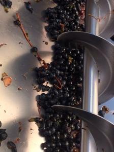 Syrah grapes in the destemmer/crusher.