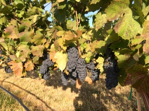 Pinot Noir from Breezy Slope Vineyard coming in Friday morning for Lagana Cellars.