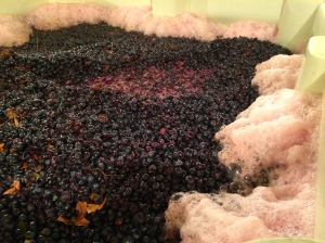 Locati Cellars Sangiovese from Mission Hills Vineyard well on its way to becoming wine.