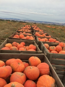Pumpkins and other winter squash are being harvested now too.