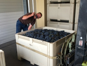 Jason and our last bin of Barbera for 2014 Harvest!