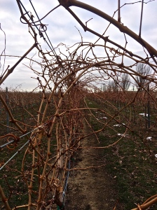 Sleeping vineyard on a cold, late December day.