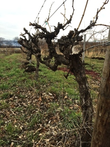 Tucannon's Estate Vineyards were largely neglected; the majority of the vines had to be dug out - they will be replaced.