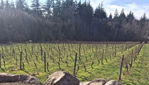 The oldest Riesling vines in the Gorge, planted in 1981 in the1.17 acre Columbia Gorge Vineyard on the family farm. A few more rows were added in 2008 for a total of 1.5 acres of Riesling.