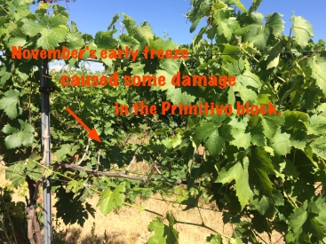 Primitivo vines with freeze damage.