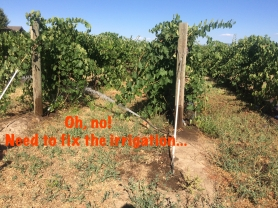 Broken irrigation in a vineyard 2015.