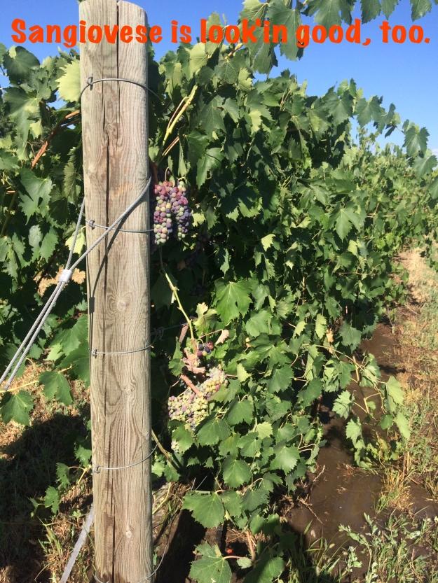 Sangiovese grapes in veraison.