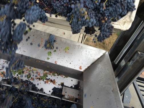 Sangiovese grapes dropping into the crusher.