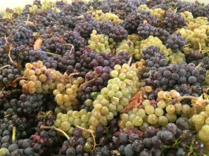Breezy Slope Vineyard Pinot Gris grapes.