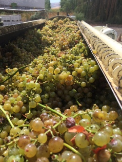 Orange Muscat grapes in press.