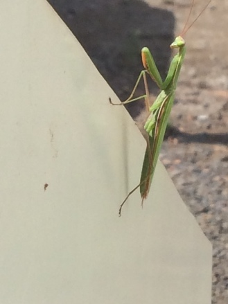 Praying mantis female on the press.