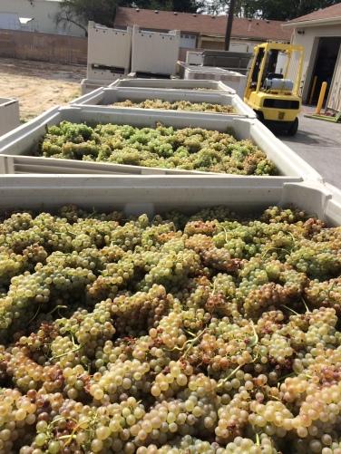 Lots of Sagemoor Rousanne Grapes!