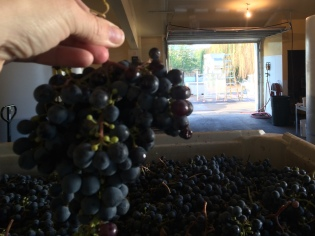 Lagana Cellars brought in just over a ton of Seven Hills Vineyard Cabernet Franc grapes.