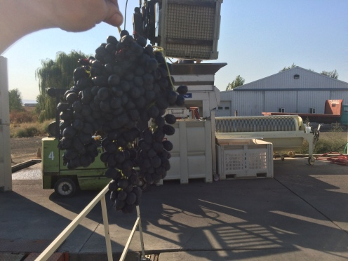 Syrah grapes and the crusher they are destined for.