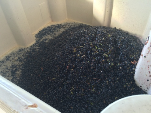 Black Syrah grape skins with pale juice in a fermentation bin.